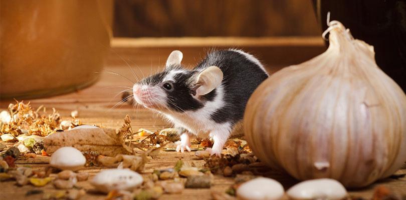 Rodent Allergens
